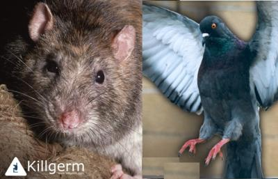 Rat & pigeon courtesy of Killgerm Group Limited.